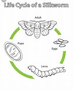 Draw The Diagram Of Silkworm Life Cycle And Label It
