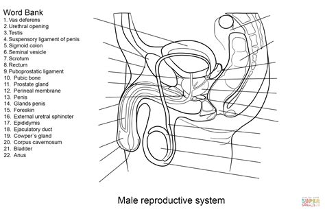 Male Reproductive System Labeling Worksheet  Human Body Anatomy System