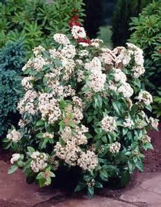 Laurustinus Viburnum Tinus Eve Price