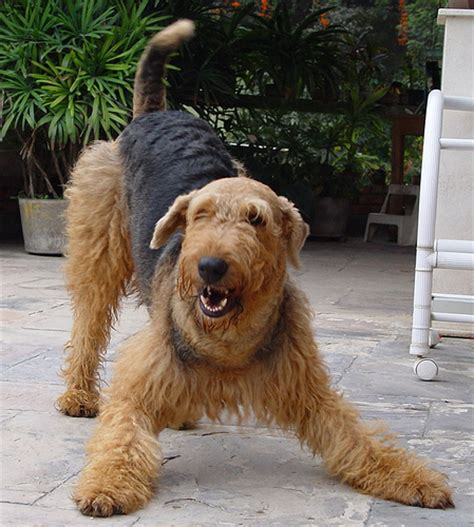 Terriers That Dont Shed by Non Shedding Dogs A List Of Small Mid Sized And Large