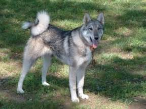 east siberian laika dog info history temperament