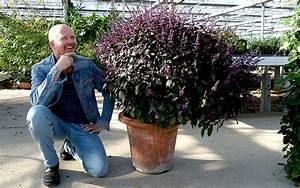 Lavendel Vermehren Wasserglas : basilikum 39 wildes purpur 39 pflanze ocimum canum x ~ Lizthompson.info Haus und Dekorationen