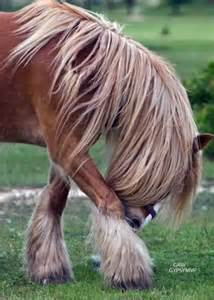 Horses Gypsy Vanner Horse Brown