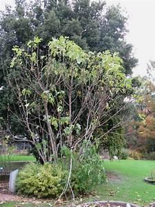 Feigenbaum Im Garten : freiburg feige feigen feigenbaum breisgau markgr flerland kaiserstuhl ~ Orissabook.com Haus und Dekorationen