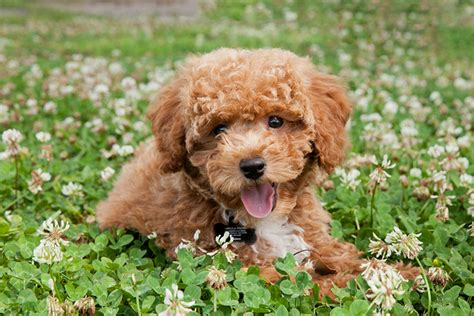 dogs low shedding top 25 low shedding breeds the paw print