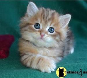 Siberian Kitten for Sale: Siberian kittens from Munchranch ...