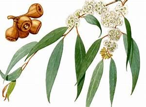 Eucalyptus Plante D Intérieur : eucalyptus bio plante m dicinale vaporiser eucalyptus bio feuilles s ch es ~ Melissatoandfro.com Idées de Décoration