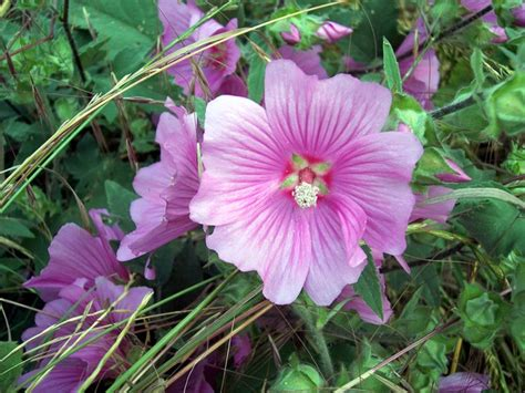 large bush with pink flowers tree mallow lavatera arborea nen gallery
