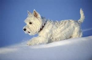 Terrier Blanco De West Highland  Personalidad Y Comportamiento