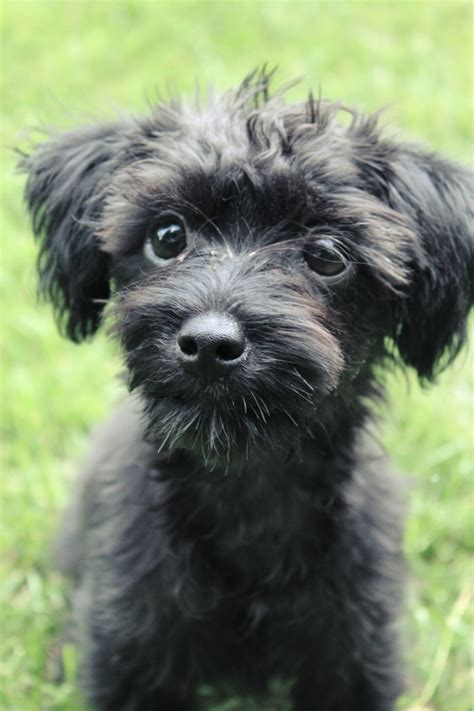 Yorkie Poo Black and Brown Baby