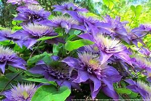 Clematis Pflanzen Kübel : clematis 39 multi blue 39 pflege und schneiden ~ Orissabook.com Haus und Dekorationen