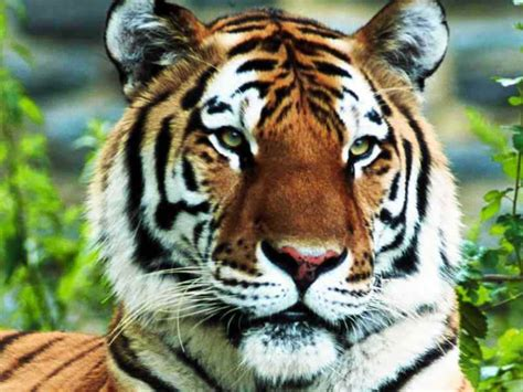 Tiger Pictures What Tigers Symbolize