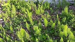 prele utile au jardin en decoction ou extrait fermente With prele jardin