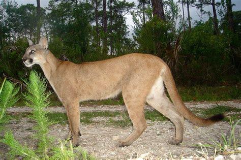 florida panther  fish wildlife service