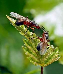 Ameisen Mit Flügel : ameisen bilder fotos ~ Buech-reservation.com Haus und Dekorationen