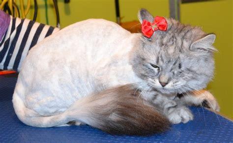 Siberian Cat Fur Shedding by
