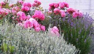 Rosenbeet Mit Stauden : rosen mit heiligenkraut und lavendel quelle daniel stricker garten pinterest ~ Frokenaadalensverden.com Haus und Dekorationen