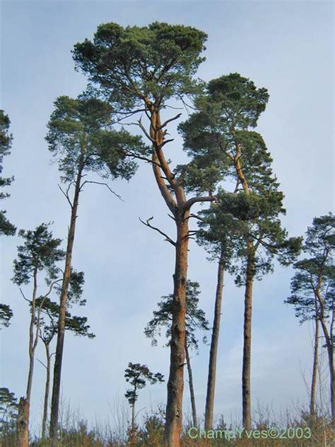 Pin Sylvestre, Pinus Sylvestris Les Arbres