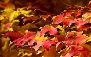Ahorn Rote Blätter : rote bl tter ahorn herbst 1920x1200 hd hintergrundbilder hd bild ~ Eleganceandgraceweddings.com Haus und Dekorationen