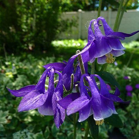 purple aquilegia blue beauty purple white columbine aquilegia coerulea