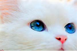 blue eyes  cat  cute  eyes  fur  kitten  pretty  white fur  White Baby Cat With Blue Eyes