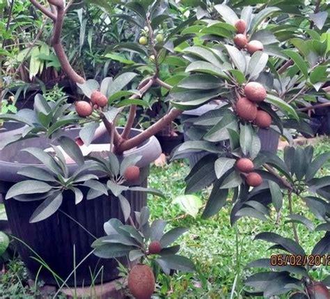 jenis tanaman buah  bisa ditanam  pot