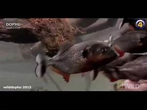 Piranha Attack Videos - YouTube