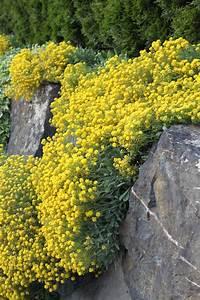 Gelbe Winterharte Pflanzen : gelbes steinkraut goldk rbchen compactum samen ~ Markanthonyermac.com Haus und Dekorationen