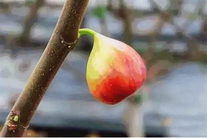 Picking Fruit Fig
