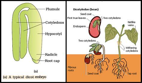 Biology Post Fertilisation Events Endosperm And Embryo