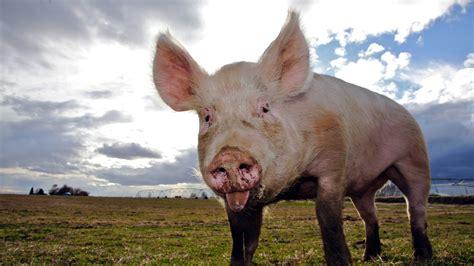 haustiere erlaubt neues gesetz haustiere schweine schweine haustiere natur