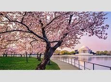 When Do Cherry Blossoms Bloom in DC 2018? Tasting Table