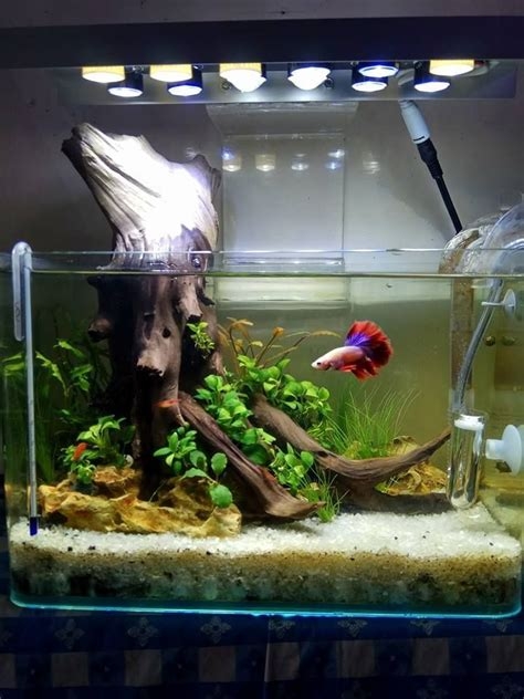 betta splendens aquariumfreshwaterfishtanks aquarium