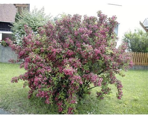 Pflanzen-set Blühende Hecken 2 H 40-60 Cm 3 Stk Bei