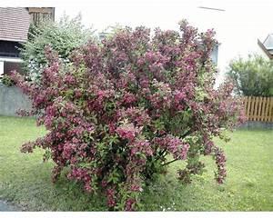 Blühende Pflanzen Winterhart : pflanzen set bl hende hecken 2 h 40 60 cm 3 stk bei ~ Michelbontemps.com Haus und Dekorationen
