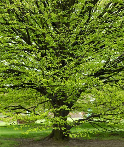 hainbuche carpinus betulus carpinus betulus gemeine hainbuche den berk