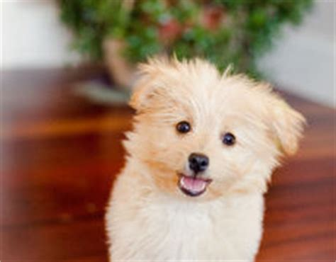 pomapoo pomeranian poodle mix info temperament puppies