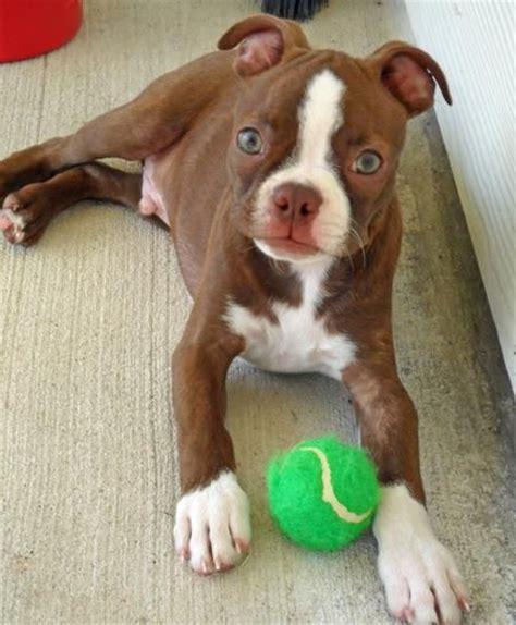 ideas  red boston terriers  pinterest