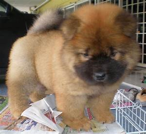 Chow Chow Puppies FOR SALE ADOPTION From Kuala Lumpur ...
