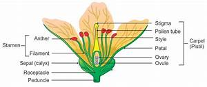 Draw A Neat Well Labelled Diagram Of A Flower Showing Its