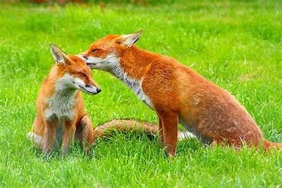 Fox Adorable Wikipedia Animal Foxes Wordlesstech Animals