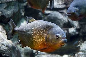 Red-bellied piranha - Wikipedia