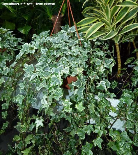 edera coltivazione in vaso hedera apiaceae coltivazione dell edera