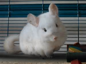 White Baby Chinchilla