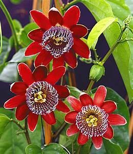 Pflege Passionsblume Zurückschneiden : passionsblume alata 1a pflanzen kaufen baldur garten ~ Lizthompson.info Haus und Dekorationen