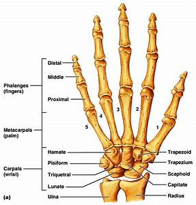 Metacarpal Growth To Prove Lsjl