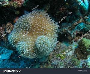 Toadstool Coral (Sarcophyton): Also Known Like Leather ...
