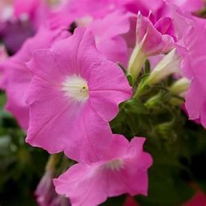 Blumen Für Schattige Plätze : die sch nsten rosa blumen im garten anbauen gartengestaltung ~ Michelbontemps.com Haus und Dekorationen