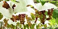串串葡萄成熟時!彰化採果嚐鮮趣 | 觀光果園 | 大紀元