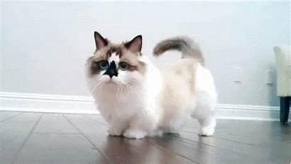Munchkin Cat Cats Kittens Gifs Animal Imgur